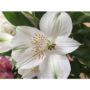 Alstroemeria Perfection Blanc Whistler Blanc