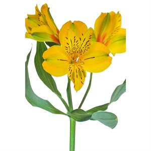Alstroemeria Perfection Jaune Bellastar|Yellow (10 / pqt)