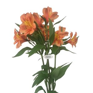 Alstroemeria Perfection Orange Queen (10 / pqt)