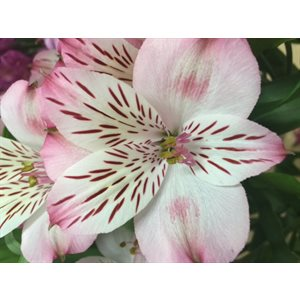 Alstroemeria Perfection Rose Pâle Coco|Light Pink (10 / pqt)