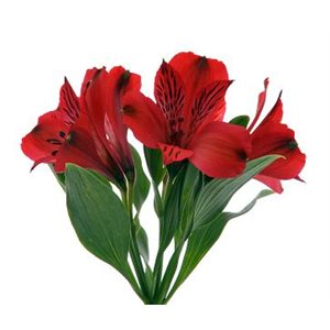 Alstroemeria Perfection Rouge Nadya|Red (10 / pqt)